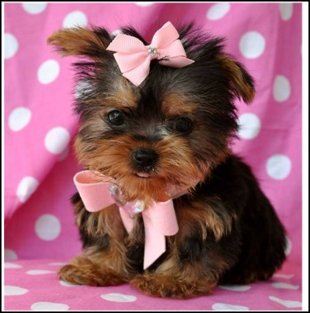 Yorkie Dogs Pictures