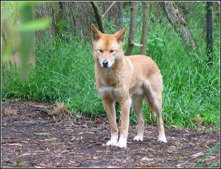 Dingo Dog Images