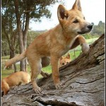 Dingo Dog Pet