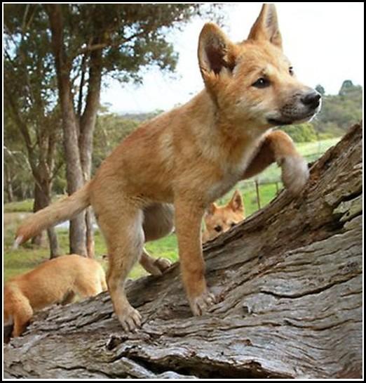 Dingo Dog Pet