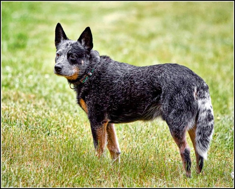 Blue Heeler Dog Breed