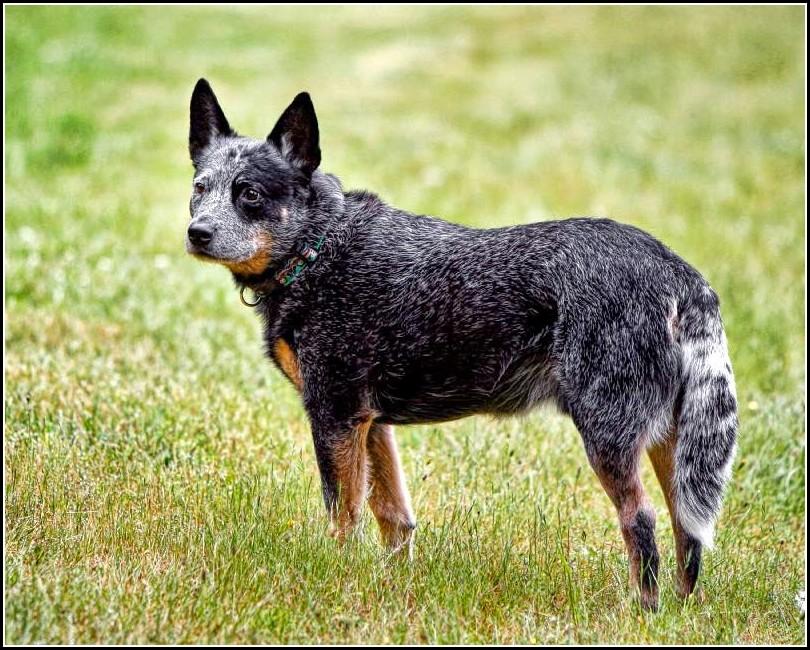 Blue Heeler Dog Breed