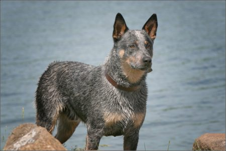 Blue Heeler Dog Images