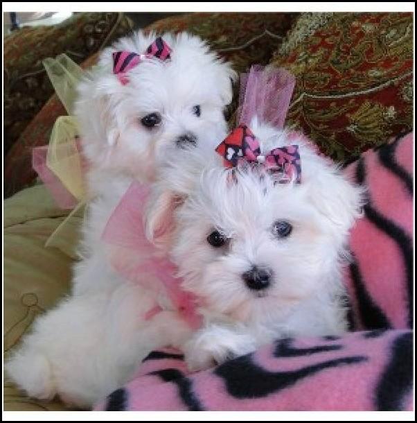 Adopt A Puppy Dog