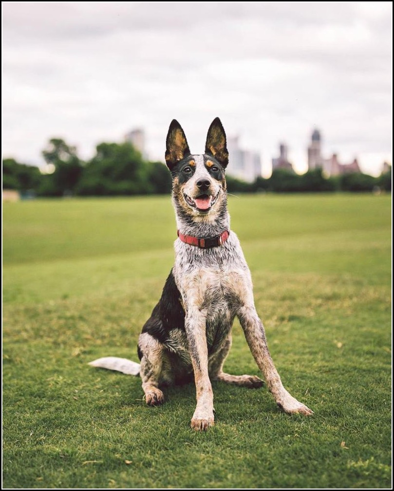 Blue Heeler Dog Pics