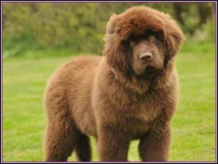 Large Dog Breeds That Don't Shed