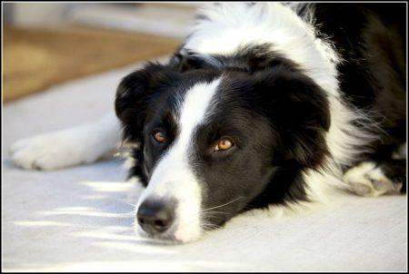 Top Ten Smartest Dog Breeds